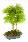 Bonsai. Isolated capture of two bonsais with green leafs Royalty Free Stock Image