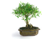 Bonsai. Tree in ceramic pot on white background heaven and earth in one container royalty free stock photo