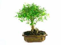 Free Bonsai Stock Image - 1517151