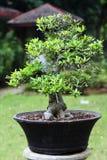 bonsai zdjęcia royalty free