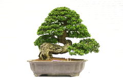 Bonsai Stock Photos