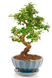 Bonsai. Tree with green leaves isolated on white background Royalty Free Stock Photo