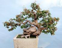 Bonsai. A bonsai of banyan in pot, miniascape Stock Photo