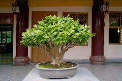 Bonsai. Seen in Taiwan 2010 Royalty Free Stock Photo