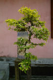 Bonsai. Tree sen in vietnam in 2010 Stock Photos