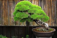 Bonsai Stock Afbeelding