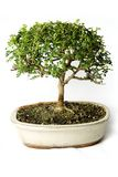 Bonsai Stock Images