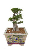 Bonsai. A bonsai tree isolated on wight background royalty free stock image