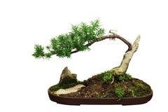 Bonsai Stock Image