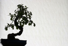 Bonsai. Tree on bright background Royalty Free Stock Photos