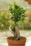 Bonsai. Tree in a pot in nursery Royalty Free Stock Image