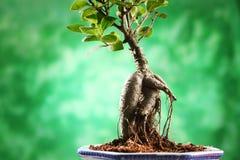 Bonsai Stock Photography