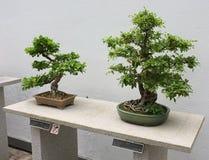 bonsai Royaltyfri Foto