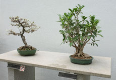 Bonsai Royalty Free Stock Photo