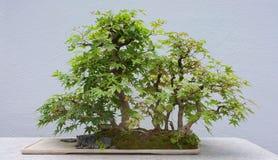 bonsai Royaltyfri Bild