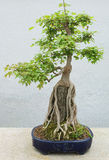 Bonsai. Exhibit in a greenhouse Royalty Free Stock Photography