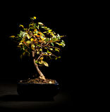 Bonsai Royalty Free Stock Photography