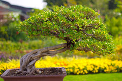 Bonsai. Collection of the best bonsai Stock Photos