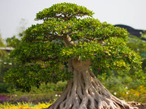 Bonsai. Trees in the garden Royalty Free Stock Image