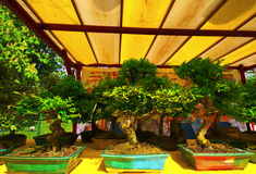Bonsai. Three bonsai for sale in a market outdoor Royalty Free Stock Images