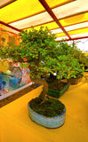 Bonsai. One bonsai for sale in a market outdoor Royalty Free Stock Photos