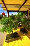 Bonsai. Two bonsai for sale in a market outdoor Stock Photos