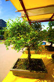 Bonsai. One bonsai for sale in a market outdoor Royalty Free Stock Photography