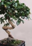 Bonsai Immagine Stock Libera da Diritti