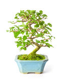 Bonsai Royaltyfri Fotografi
