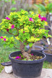 Bonsai Obrazy Royalty Free