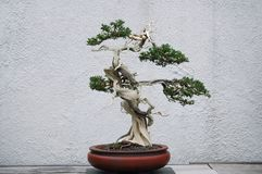 Bonsai Royalty-vrije Stock Foto