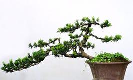 Bonsai Zdjęcie Stock