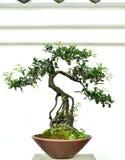 Bonsai Fotografia Royalty Free