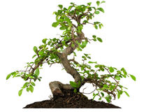Free Bonsai Royalty Free Stock Photos - 3992628