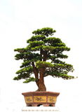 Bonsai. A well cut and cultivated chinese  bonsai of cypress Stock Photo