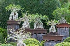 Bonsai Fotografia Stock