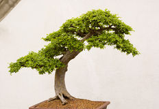 Bonsai Stock Photography