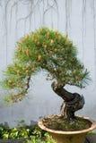Bonsai. Pine tree at chinese garden Royalty Free Stock Photography
