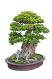 Bonsai Fotografia Stock
