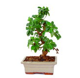 bonsai Obraz Royalty Free