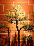 bonsai Royaltyfri Foto