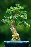 Bonsai. Tree in a pot Royalty Free Stock Photography