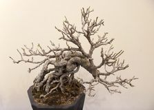 bonsai Fotografia Royalty Free