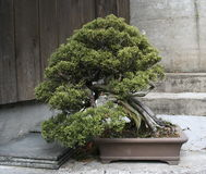 Bonsai Stock Fotografie