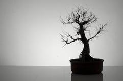 bonsai Royaltyfri Fotografi