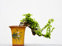 Bonsai stock photo