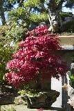 Bonsai Acer Palmatum, red maple stock photo