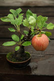 Bonsai apple tree Stock Photos
