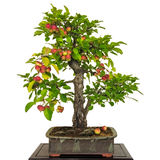 Bonsai apple tree Malus with red apples Stock Images
