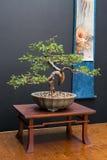 Bonsai Art Royalty Free Stock Photo